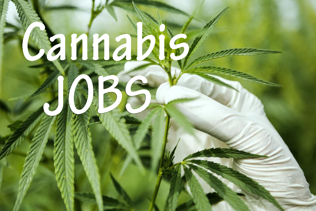 legal cannabis now supports 243,700 full-time american jobs Legal cannabis now supports 243,700 full-time American jobs cannabis jobs